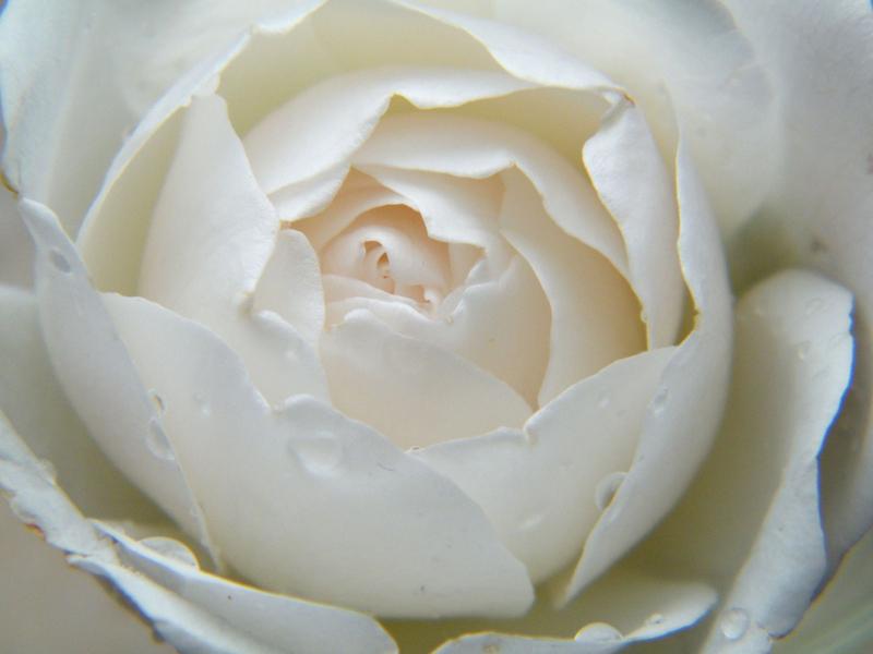 csm_2676_Rose_9b774fbd5b